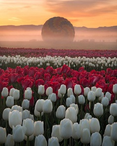 Jake Egbert Captures The Beauty at The Wooden Shoe Tulip Festival