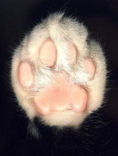 Feline Paw #paw #feline #foot #cat #photography #toes #animal #feet