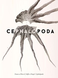 Cephalopoda #octopus #cephalopoda #friedlnder sohn