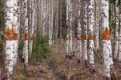 birches, perspective, environmental art, birch trees, interventions, nature, bark, forest, Finland