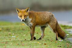 All sizes   Urban Fox, walking   Flickr   Photo Sharing!