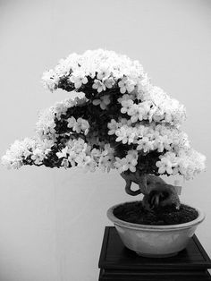さつきの 盆栽 #photography #black and white #bonsai #tree #ornamental #flower #blossom #beauty #plant #japan