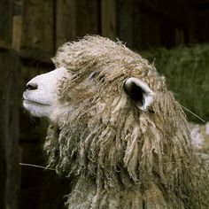 Fantastic Portraits of Farm Animals - My Modern Metropolis #sheep #animal
