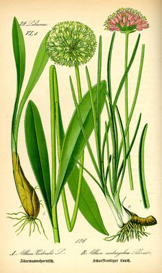 Illustration: Allium victoralis #wilhelm #flora #thom #biology #print #fauna #otto #dr #illustration #and