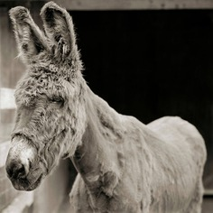 Babs, Donkey, Age 24
