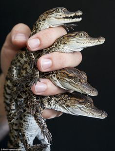 Handle with care! These Siamese crocodiles have been born at Crocodiles of the World in Oxfordshire, single-handedly boosting the critically #teeth #crocodile #hand #care #photography #hatchling #reptile #animal #baby #hold