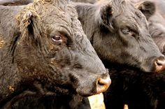 Photography - Jarrod Joplin Design #photography #cows