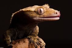 Macro Photography of Gecko Face by Nakkimo #macro photography #Gecko Photography #Animal Photography