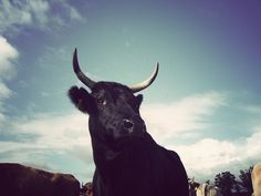 tumblr_kydcqmodd91qaouuqo1_500.jpg (500×375) #cows #photography #bulls #animals