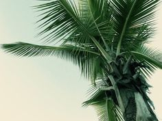 Merde! - Photography (Palmier, avec Petit-Maître, 2011) #photography #palm #tree