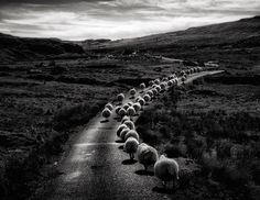 sheep-herds-around-the-world-2 #photo