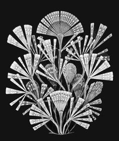 Ernst Haeckel, Kunstformen der Natur 1904 #flora #illustration #nature #flower #drawing