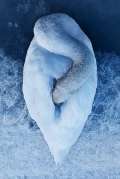 seamountain #swan #blue #photography #animal
