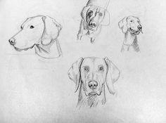 Bocetos | Silvia Mallofre #mallofre #silvia #weimaraner #illustration #dog