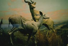 Antelopes Print (Human Nature) #print #antelope #poster