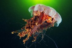 Amazingly Detailed Underwater Photography #color #fish #jellyfish #photography #underwater