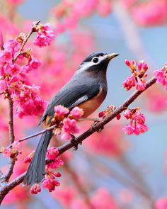 photo #pink #blossoms #bird