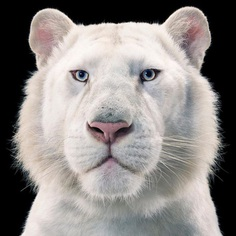 Magnificent Wild Animals Portrait Photography by Tim Flach