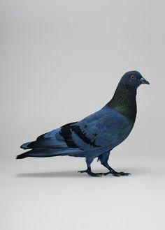 Blue Pigeon #blue #pigeon #art