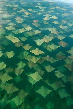 skate or rays #ray #fish #pattern #skate