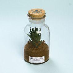 Cactus from Sahara