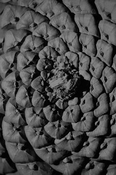 Pale Grain THE ORDER #limited #edition #print #cone #photography #order #pine #macro