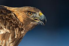golden eagle portrait #eagle #golden