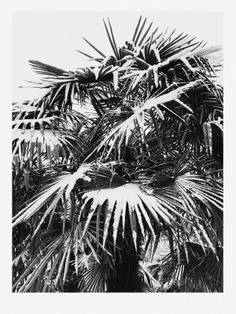 #flora #cologne #palmtree #plant #white #sniw #photography