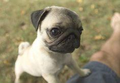 DeadFix » pupster #poppy #pug