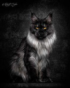 Robert Sijka Captures Stunning Portraits of Maine Coon Cats