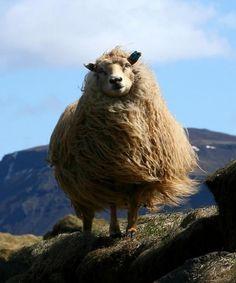 By Oli - pixdaus #sheep #whatever #lamb