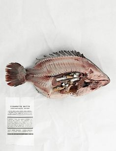 NoButts.org, Anti-Cigarette Butt Pollution Campaign: Tilapia | Ads of the World™ #shock #nobutts #jasonperez #jason #fish #advertising #perez #student