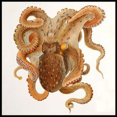 Octopus #mollusca #illustration #vintage #octopus