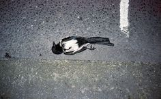 a picture a day : : : kikkerbillen #dead #photo #art #bird