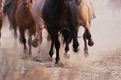 Mustangs (Equus caballus) running, kicking up dust