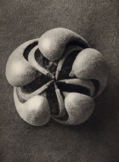 Karl_Blossfeldt_Blumernbachia_hieronymi_Loasaceae_1932_101_129_12.jpg (JPEG Image, 441×603 pixels)