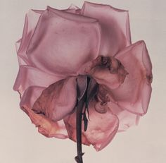 this isn't happiness™ (In lieu of flowers), Peteski #rose #flower #photo