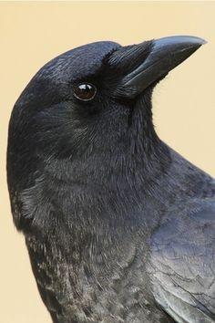 17 photo - Norman Rich photos at pbase.com #photo #crow