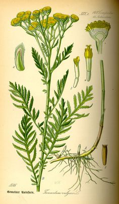 Illustration: Tanacetum vulgare #wilhelm #flora #thom #biology #print #fauna #otto #dr #illustration #and