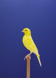 Magnificent Portraits of Show Birds by Luke Stephenson. Via Fubiz #photography #portraits #bird