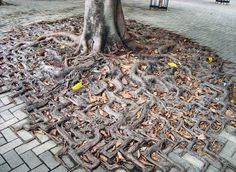 tree-roots-concrete-pavement-3 #root #photography #tree