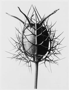 karl-blossfeldt-1.jpg (550×711)