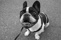 pequeno eddie. #bulldog #photography #dog