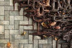 tree-roots-concrete-pavement-16 #root #photography #tree