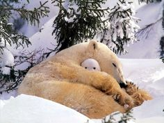 Polar bear mum with baby #polar #with #mum #bear #baby