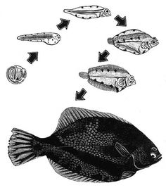 flounders.jpg (JPEG Image, 600x687 pixels) #illustration #fish