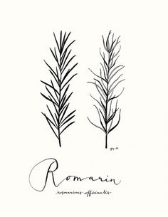 All sizes | Romarin | Flickr - Photo Sharing! #illustration #drawing #leaves #eva juliet #rosemary