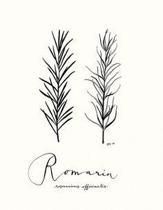 All sizes | Romarin | Flickr - Photo Sharing! #eva #illustration #juliet #rosemary #drawing #leaves