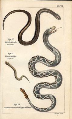 SIL-007-504-12.jpg (JPEG Image, 1000×1660 pixels) - Scaled (49%) #illustration #science #snakes