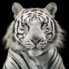 More Than Human - Tim Flach #photography #animals #tiger